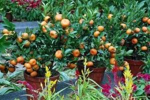 Dwarf fruit trees grow very well in pots