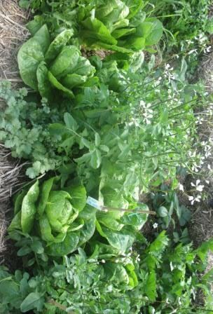 sLettuce, rocket, coriander, strawberries and celery are a picture of health in this raised garden bed.