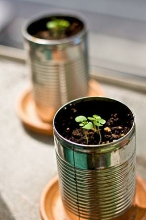 Basil growing in repurposed tin can planters. Photo: Dov Harrington