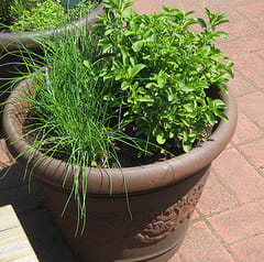 Clay Pot with herbs | The Micro Gardener