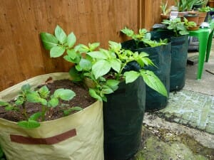 Grow bags with potatoes