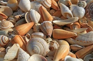 Well washed sea shells can be used as an effective mulch for plants