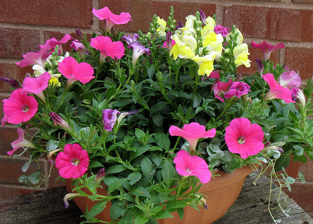 Pot of annuals | The Micro Gardener @ www.themicrogardener.com