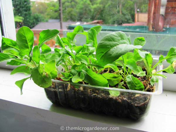 Rocket microgreens in a mini garden on a window sill. A perfect solution for small garden design.