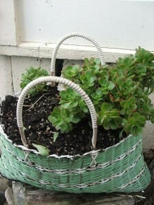 Succulents in a woven basket | The Micro Gardener