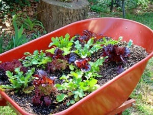 Colourful salad garden grown in a recycled wheelbarrow