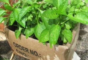 Growing herbs & veggies in a cardboard box - www.themicrogardener.com