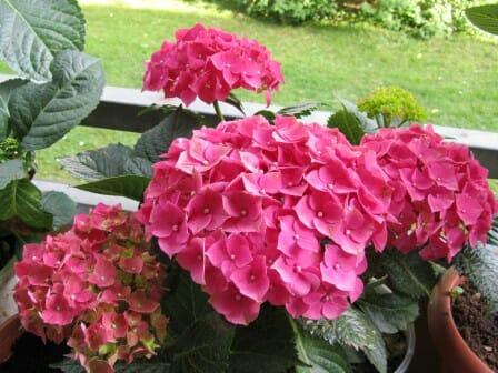 Hydrangeas thrive in healthy soil | The Micro Gardener