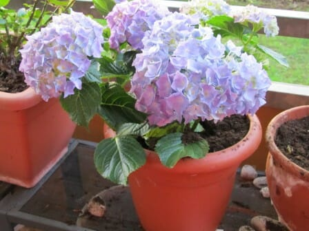 Hydrangeas in pots | The Micro Gardener