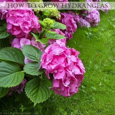 Pink hydrangeas | The Micro Gardener