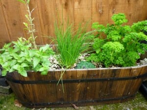Fresh home-grown herbs in a kitchen garden