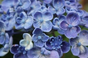 Blue hydrangea - a popular choice with many gardeners
