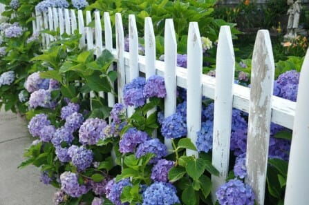 Hydrangeas growing through a picket fence | The Micro Gardener