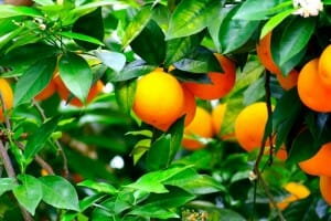 Dwarf orange tree - potted citrus can often live for years in pots if cared for well