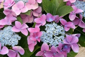 Pink hydrangeas a stunning addition to any garden