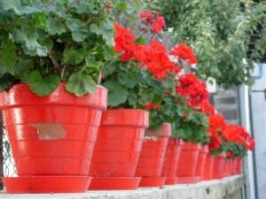 Colourful pots with geraniums in flower