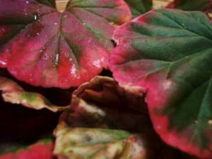 Pelargonium leaves are scented with a huge variety of fragrances