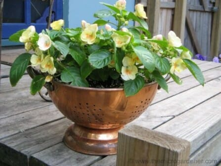 Colander planters are perfect for outdoor table settings as a feature display. Pop in some herbs and you can garnish your food at the table! | The Micro Gardener www.themicrogardener.com
