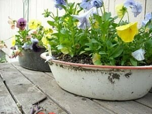A couple of clever plant containers:  pansies now reside in an old roasting pan and baby bath.  | The Micro Gardener www.themicrogardener.com