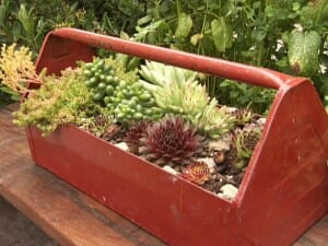 Succulent toolbox planter - an easy project when planted with drought tolerant succulents.  | The Micro Gardener www.themicrogardener.com