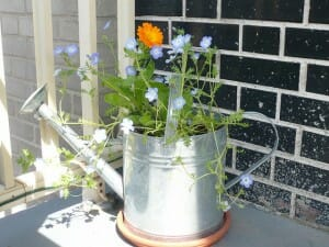Want a mini feature garden for a table or as a centrepiece?  A watering can can be filled with edible herbs or cascading flowers and look great as a planter.  | The Micro Gardener www.themicrogardener.com