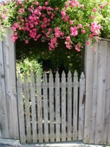 This heavily flowering climber enhances the arbor over the entrance gate.