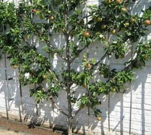 This espalier apple has been trained to grow against a wall in fan shape