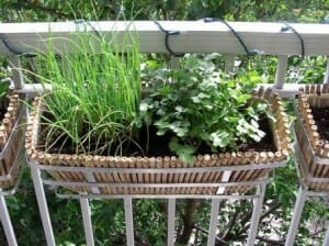 Green onions and coriander balcony garden. Photo: Looli