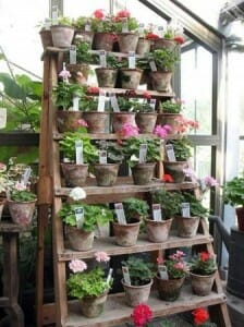 What a space saving idea!  This wide ladder holds lots of geranium pots.  | The Micro Gardener
