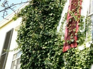 Living green wall on the exterior wall of a home.