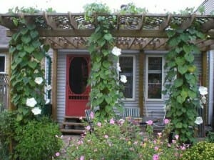 Pergola covered with moon flower vine.  Growing up and over, it adds ambience, shade and perfume which enhance the outdoor eating area.  Photo: Bev Wagar