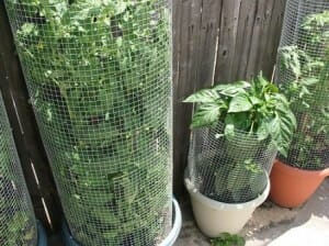 Plant cages can be bought or made - they can be short or tall to suit the plant, plain wire or surrounded with shade cloth to better contain the soil. Photo: Allison Fomich
