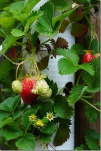 Strawberry tower in Emily's garden.