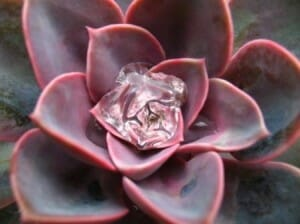 Succulents are attractive and low water use plants