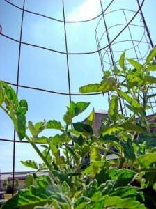 Tomato cages are a useful vertical system to contain tomatoes.