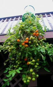 Upside down tomato planter hung from an upstairs deck.