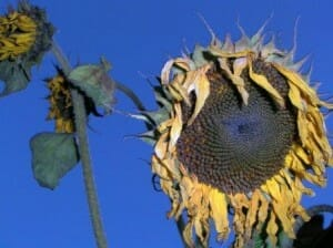 Wilted sunflower - waiting too long to water can be detrimental to the plant's health