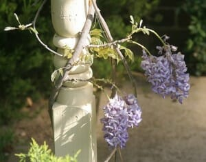 Wisteria and other colourful climbing vines can be grown 'up' a vertical structure that is already part of the house. Photo: Jason Smith