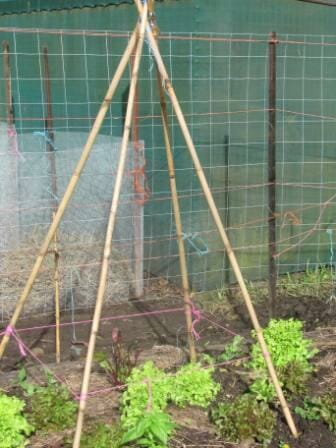 This school garden four stake tepee is made from thicker tall bamboo for stability and the posts are embedded in the soil.