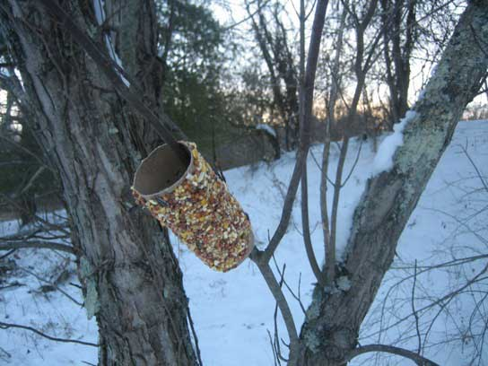 Peanut butter bird feeder made from a toilet roll and stuck on an upwards facing branch.