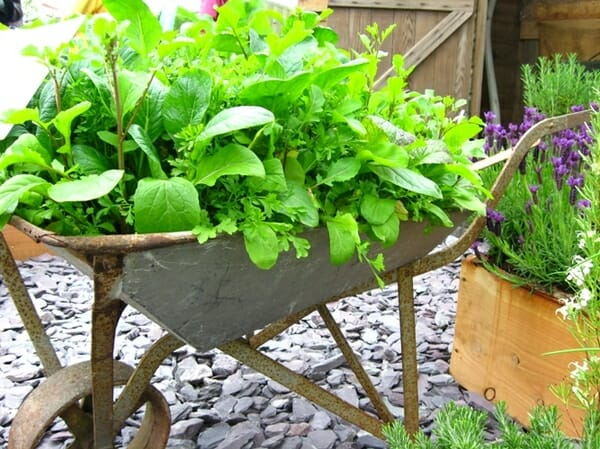 Edible wheelbarrow garden