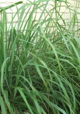If you haven't given this a go before, I'd encourage you to start by taking a cutting or dividing any overgrown plant that's in need of a haircut.  This  lemon grass is in a big clump and ready for dividing with a sharp knife.