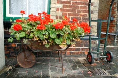 Rustic yes!  Geraniums are the star attraction and turn this very ordinary garden into something special.