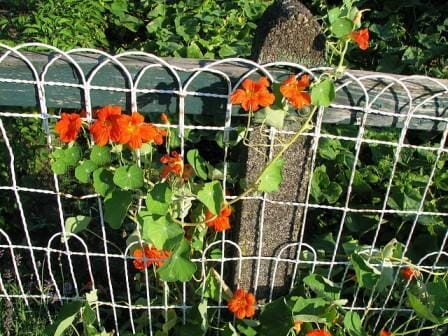 Encourage more flowers to grow and a more compact shape by pinching out the runners from time to time.