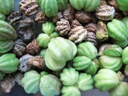 Nasturtium seeds - freshly picked green seed pods & dried seeds ready to sow, save or eat.