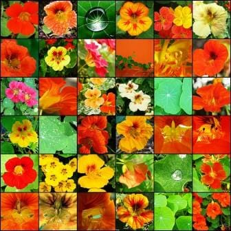 Just some of the wonderful variety of Nasturtiums you can grow