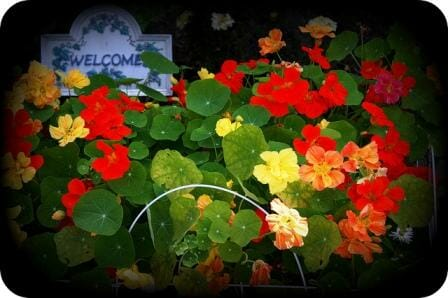 Nasturtiums are welcoming and cheerful and SO easy to grow!