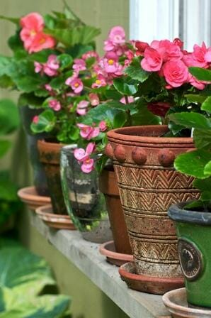 Colourful begonias collection in odd pots  | The Micro Gardener