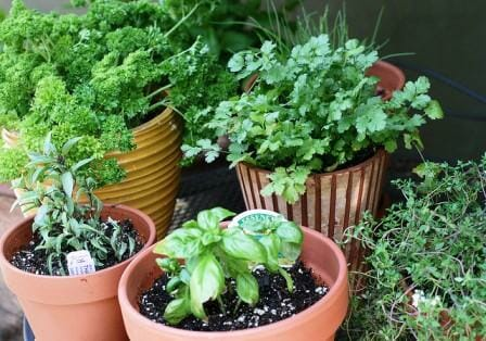 Many herbs have both culinary and medicinal uses and are a great choice for small spaces.  | The Micro Gardener