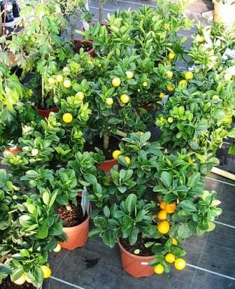 Garden design ideas for small spaces - Fruit trees in small spaces decoration ...